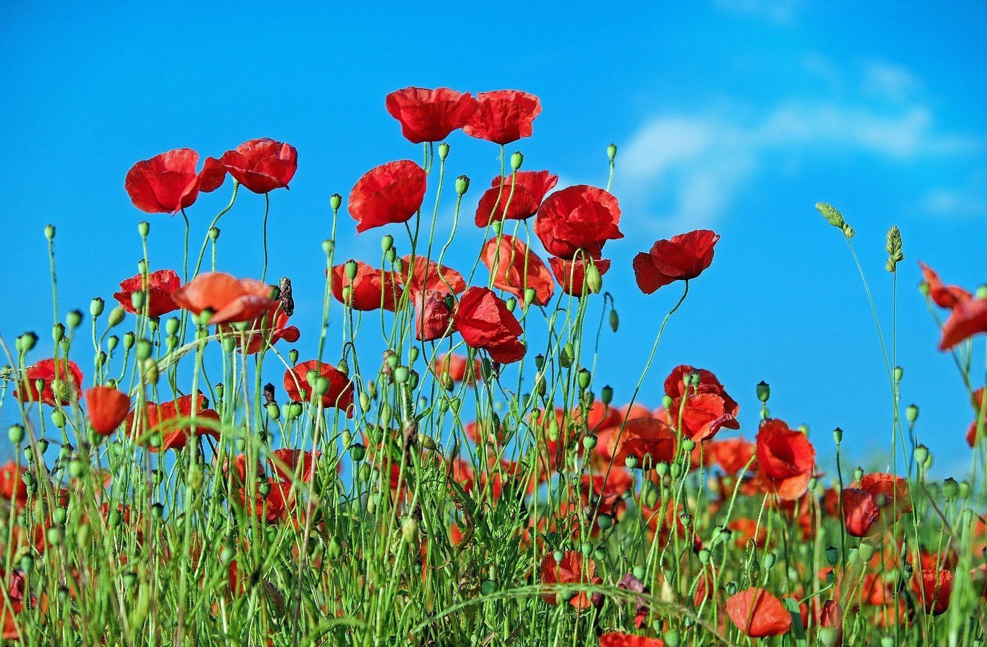 poppy-1447203_1920